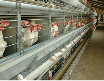 تولید کننده تجهیزات مرغداری و قفس مرغ تخمگذار